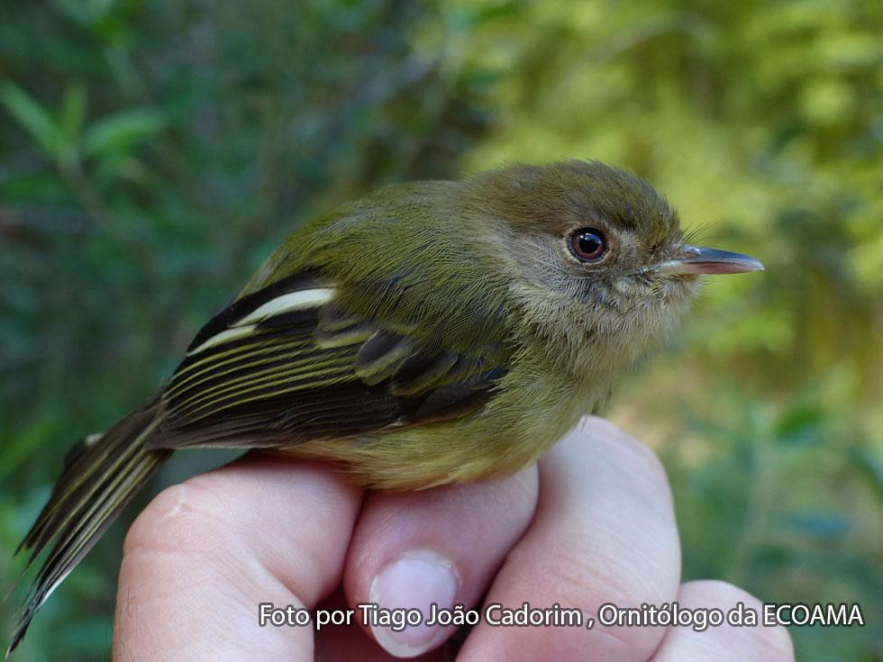 Programa ambiental do Contorno Viário monitora espécie de ave ameaçada de extinção