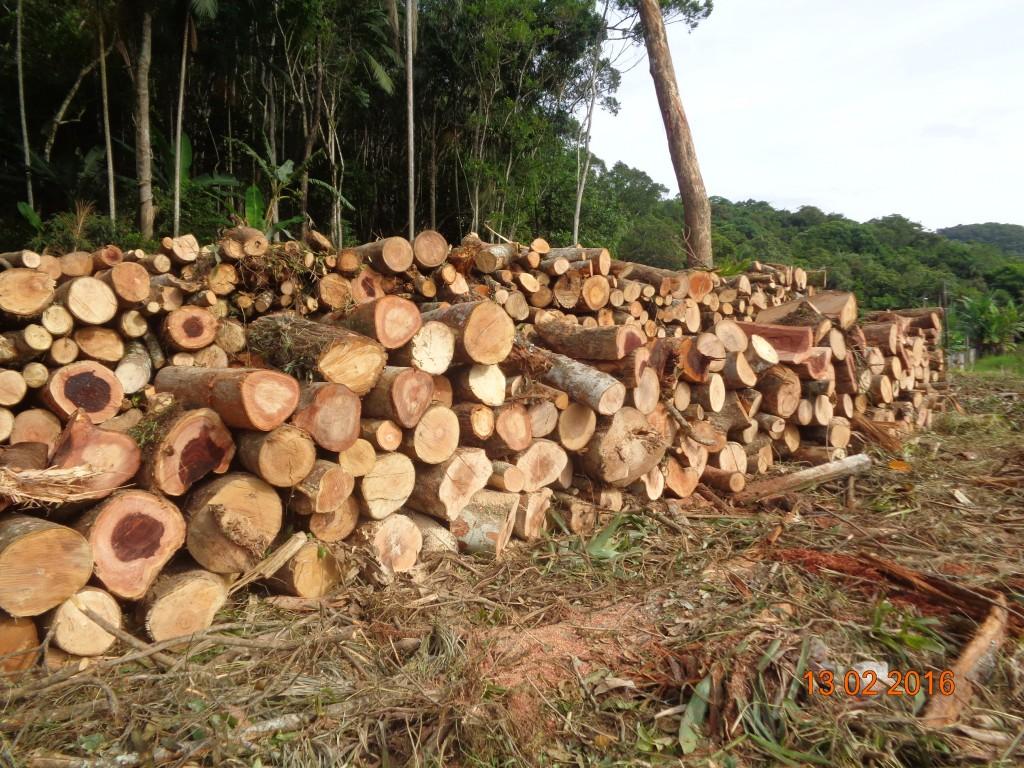 2016-02-13 Km 218+900 supressão e empilhamento de madeira  (12)