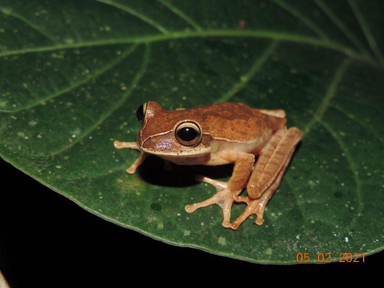 Anfíbios compõem fauna da região do Contorno Viário de Florianópolis
